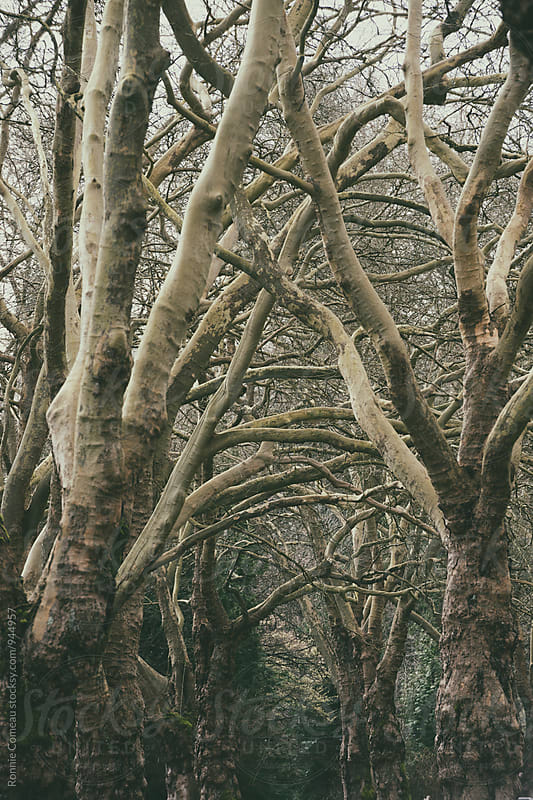 Tree Canopy by Ronnie Comeau for Stocksy United