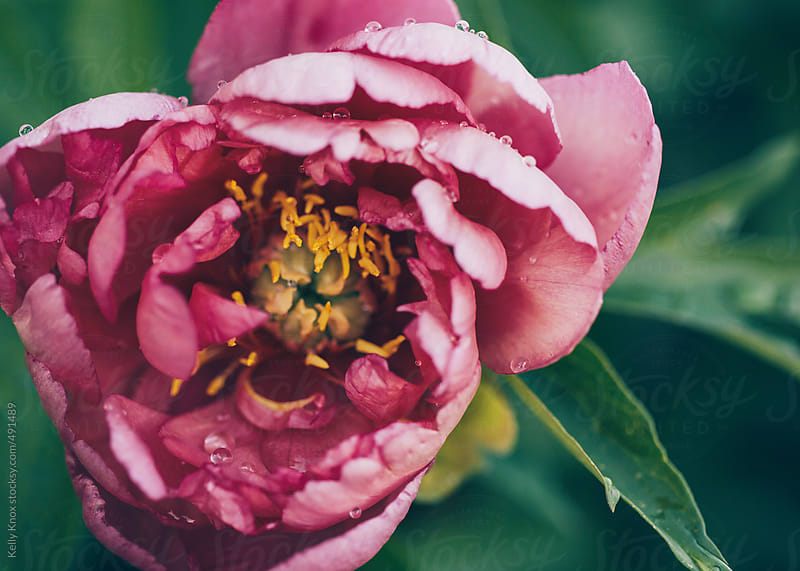 raindrops on a pink peony in the garden  by Kelly Knox for Stocksy United