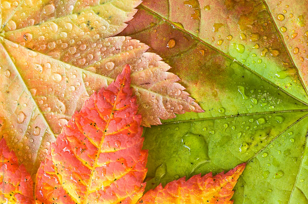 Autumn Leaves And Raindrops Close Up By Mark Windom Autumn Leaf Stocksy United