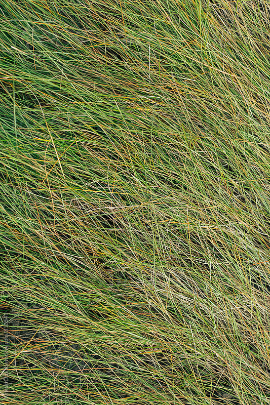 Beach grass by Kristin Duvall for Stocksy United