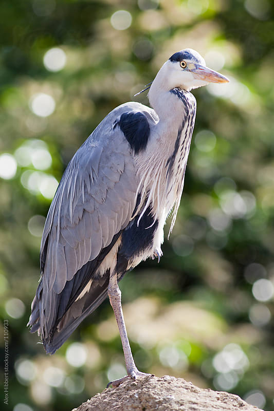 Grey Heron by Alex Hibbert for Stocksy United