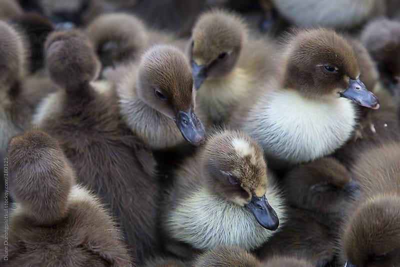 Fluffy Ducklings by Diane Durongpisitkul for Stocksy United