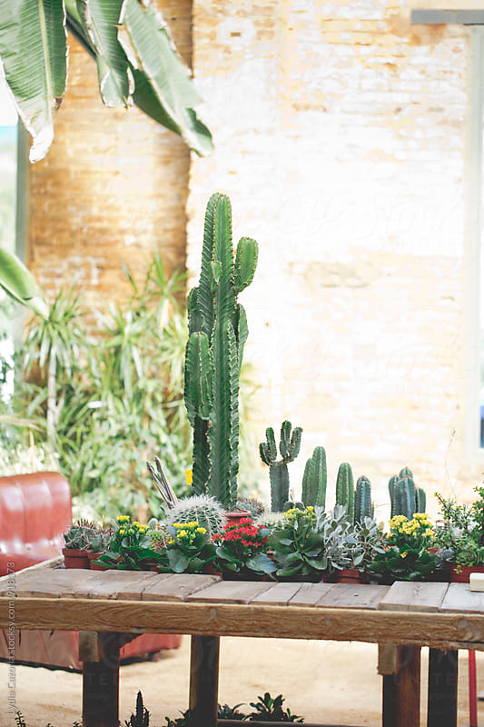 Cactus on the table the a greenhouse by Lydia Cazorla for Stocksy United