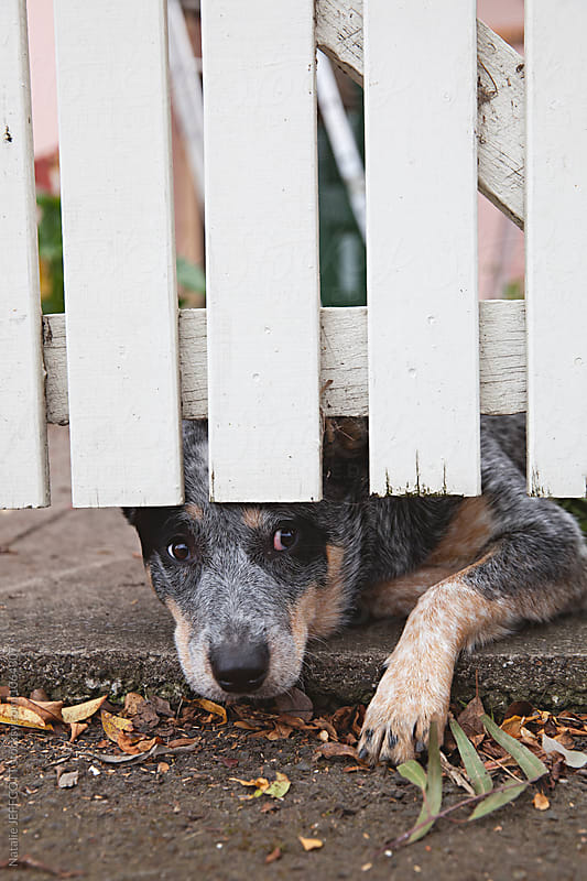 A young blue heeler dog out the front of her home with white picket fence by Natalie JEFFCOTT for Stocksy United