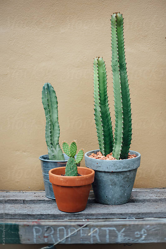 Cacti in Pots by Kara Riley for Stocksy United