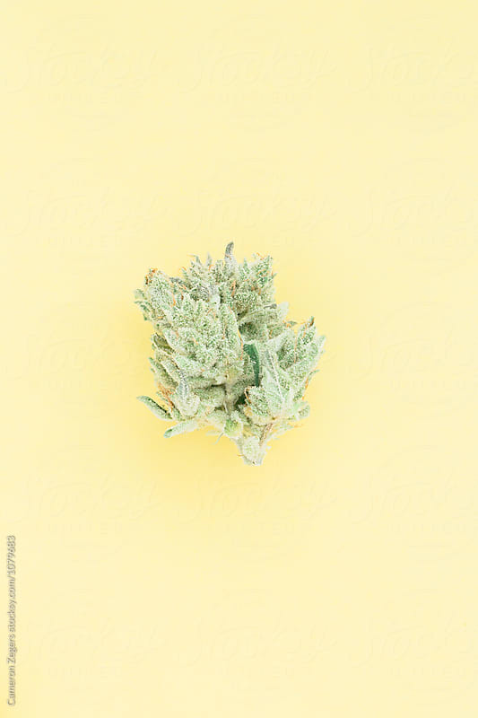 marijuana bud on pastel yellow background by Cameron Zegers for Stocksy United