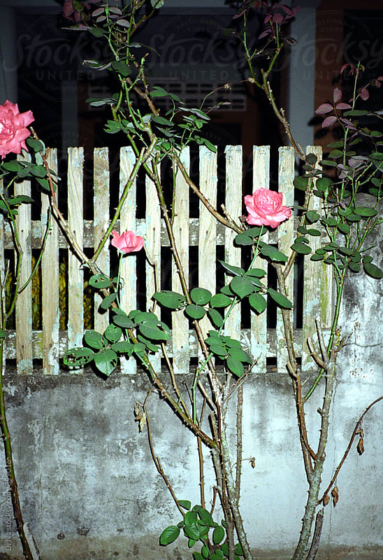 Rose bush near the fence at night by Dina Lun for Stocksy United