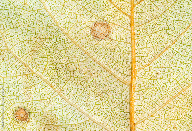 Early decay in a cottonwood leaf by Mark Windom for Stocksy United