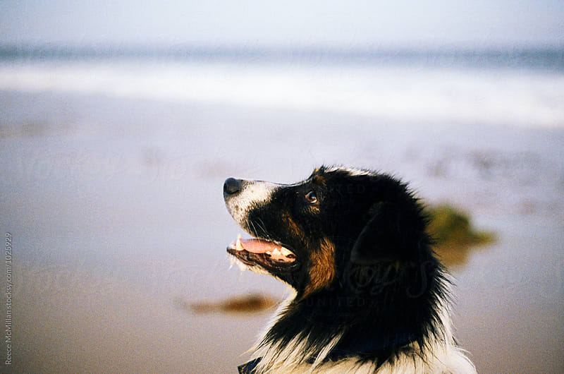 A dog looks up to it's owner at the beach by Reece McMillan for Stocksy United