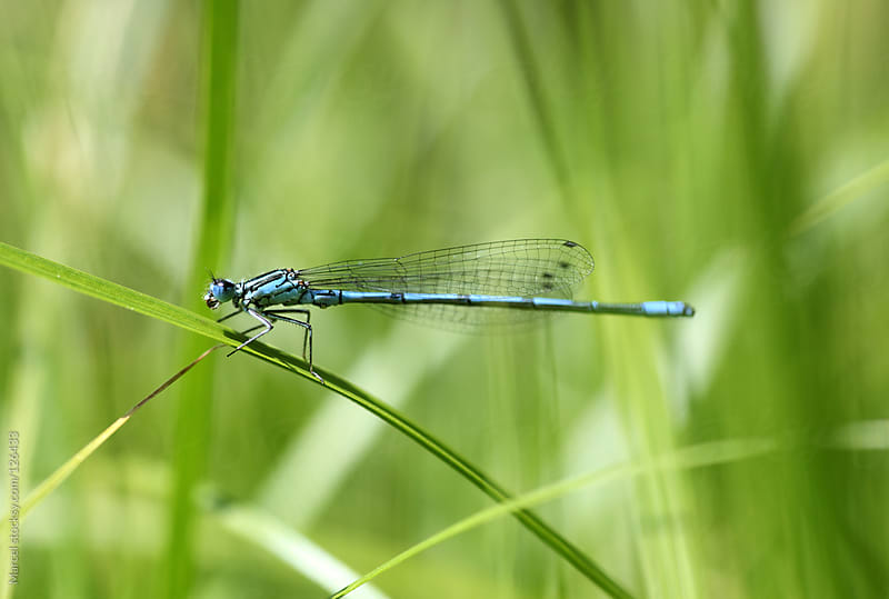 Damselfly resting on grass blade by Marcel for Stocksy United