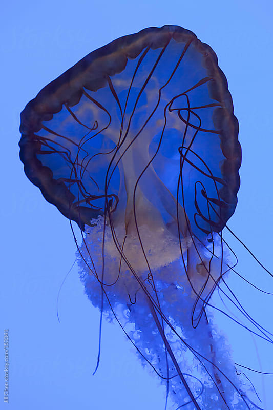 Jellyfish on Blue by Jill Chen for Stocksy United