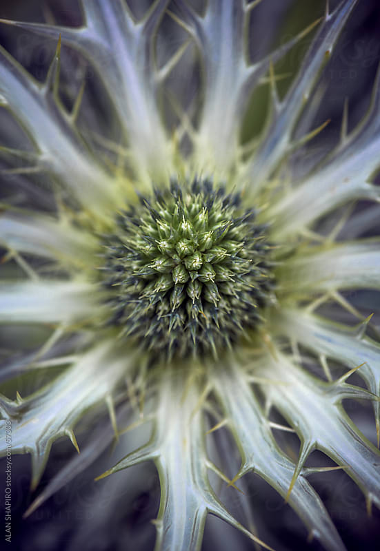 Globe Thistle about to bloom by alan shapiro for Stocksy United
