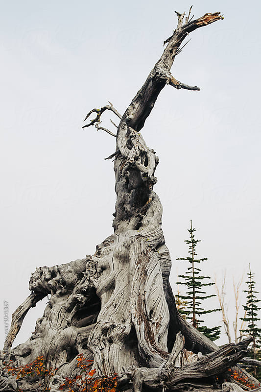 Old weathered tree trunk standing tall and strong.  by Justin Mullet for Stocksy United