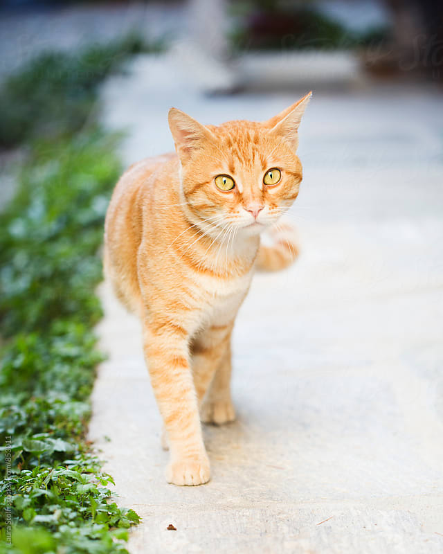 Ginger striped cat walks on pavement in bright garden by Laura Stolfi for Stocksy United