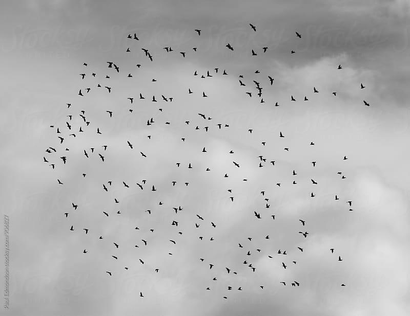 Starlings flying across overcast sky by Paul Edmondson for Stocksy United
