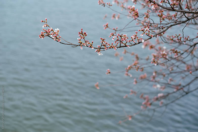 Cherry blossom buds over tidal basin by Kerry Murphy for Stocksy United