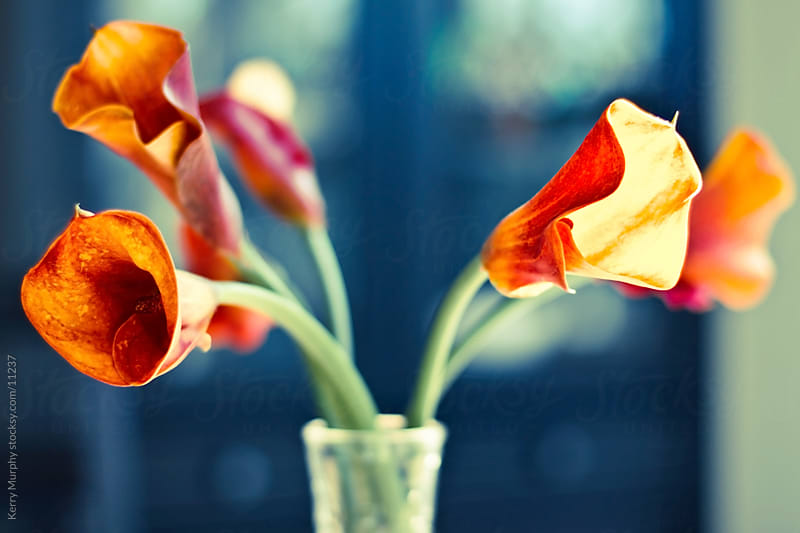 Mini calla lilies in a vase. by Kerry Murphy for Stocksy United