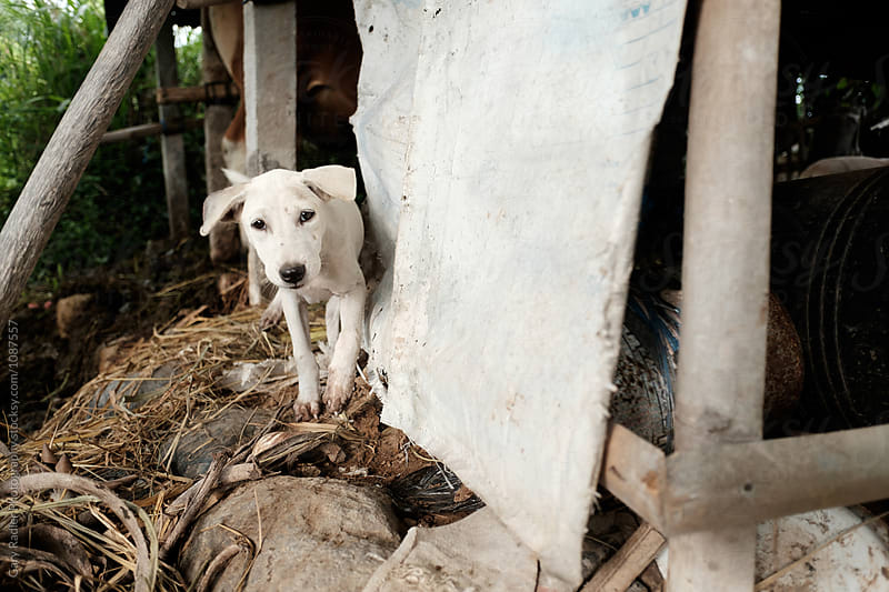 Young Dog on a Bali Farm by Gary Radler Photography for Stocksy United
