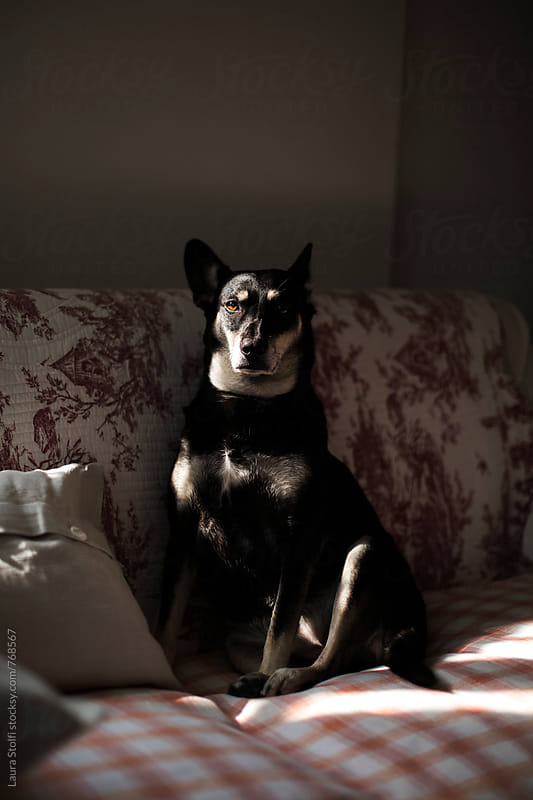 Little dog sits in the shadow on sofa with eye enlighted by sunray by Laura Stolfi for Stocksy United