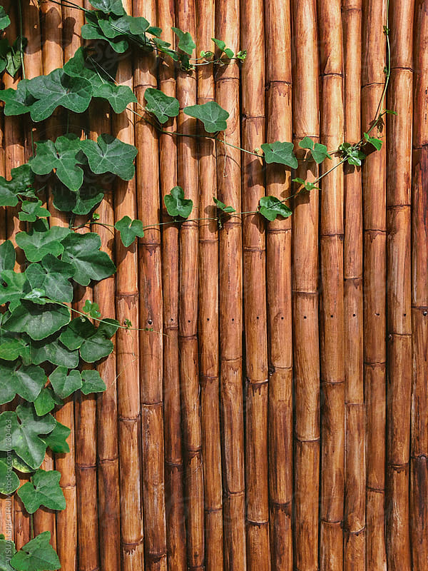 Bamboo Wall With Green Ivy by VISUALSPECTRUM for Stocksy United