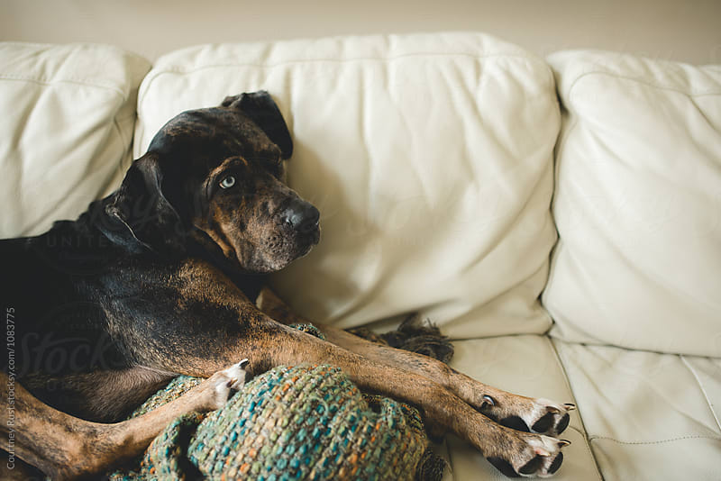 The couch dog by Courtney Rust for Stocksy United