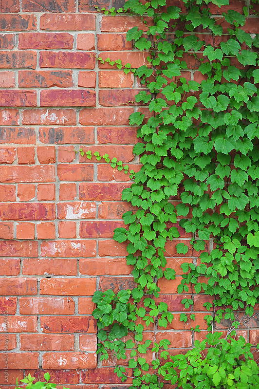 Green Boston Ivy Grows Up A Red Brick Wall by Leigh Love for Stocksy United