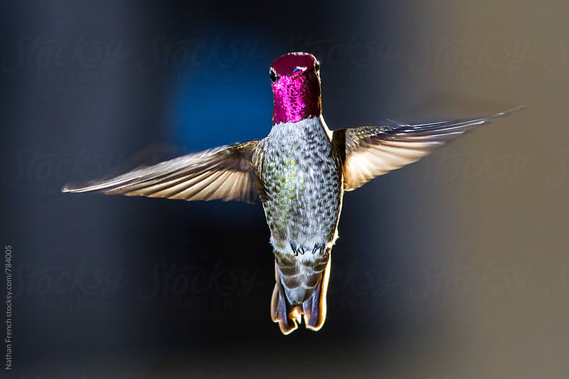 Hovering Hummingbird by Nathan French for Stocksy United