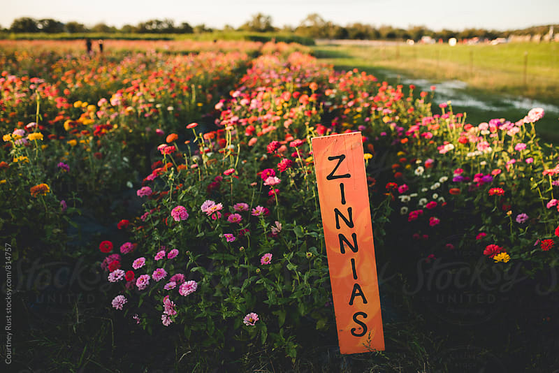 zinnias  by Courtney Rust for Stocksy United