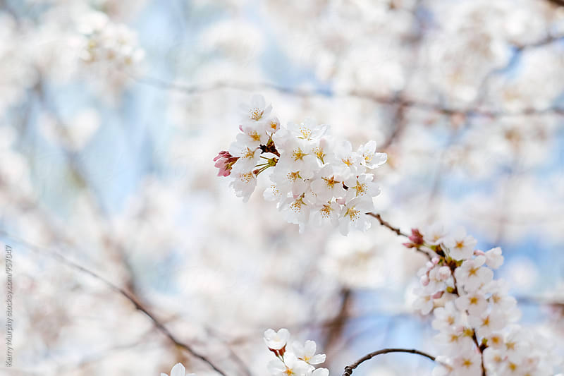 Close up of cherry blossom tree in spring by Kerry Murphy for Stocksy United