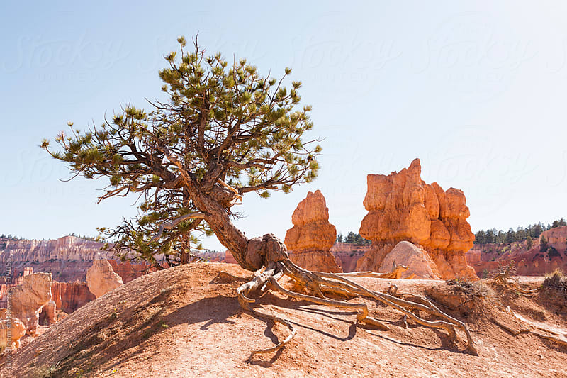 Single tree in Bryce Canyon National Park by Lilly Bloom for Stocksy United
