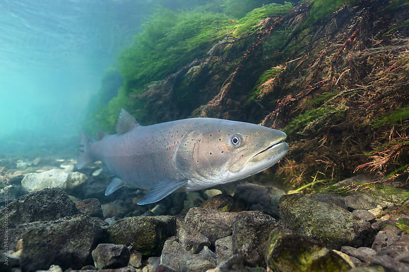 Portrait of the huchen, also known as Danube Salmon by Jovana Milanko for Stocksy United