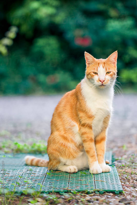 Adult red cat sits in garden and looks straight at the camera by Laura Stolfi for Stocksy United