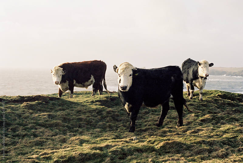 Cows on a Cliff by Helen Rushbrook for Stocksy United