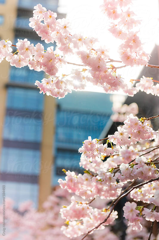 Cherry Blossom in front of office building by Craig Holmes for Stocksy United