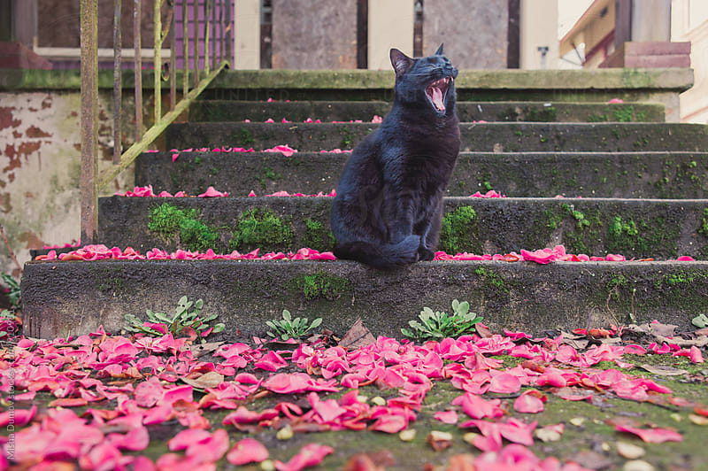 Yawning black cat sitting on a concrete staircase covered in petals by Mihael Blikshteyn for Stocksy United