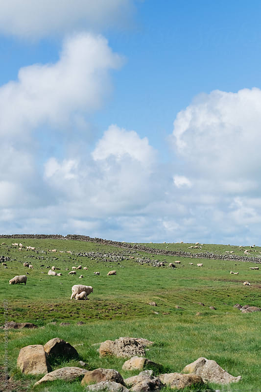Herd of sheep grazing by Rowena Naylor for Stocksy United