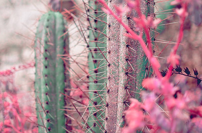 San Pedro cactus surrounded by pink flowers and plants by Wizemark for Stocksy United