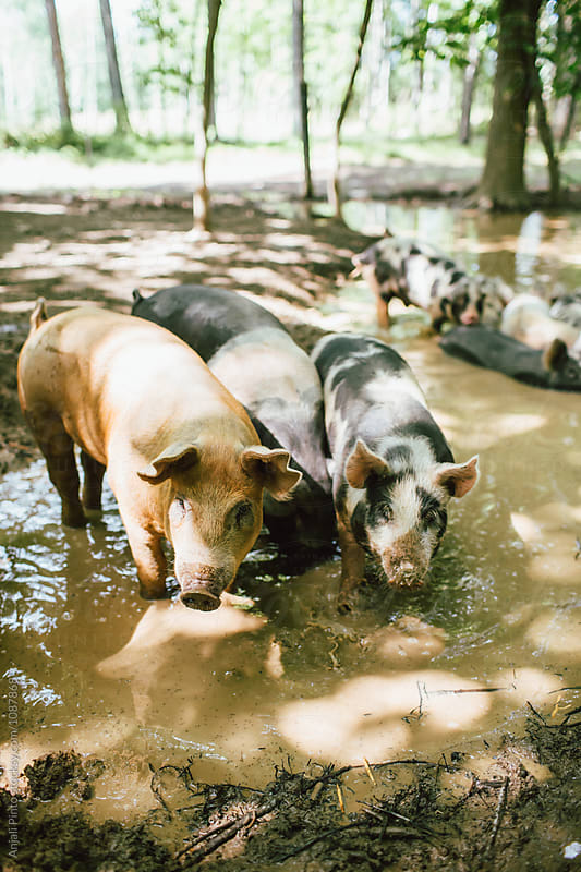 Heritage Pigs on a Farm by Anjali Pinto for Stocksy United