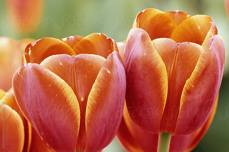 closeup macro variegated tulip (Tulipa sp.) flowers blooms at experimental farm by Ron Mellott for Stocksy United