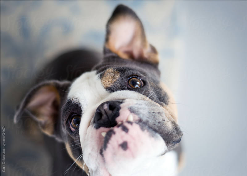 English bulldog looks up with eager eyes by Cara Slifka for Stocksy United