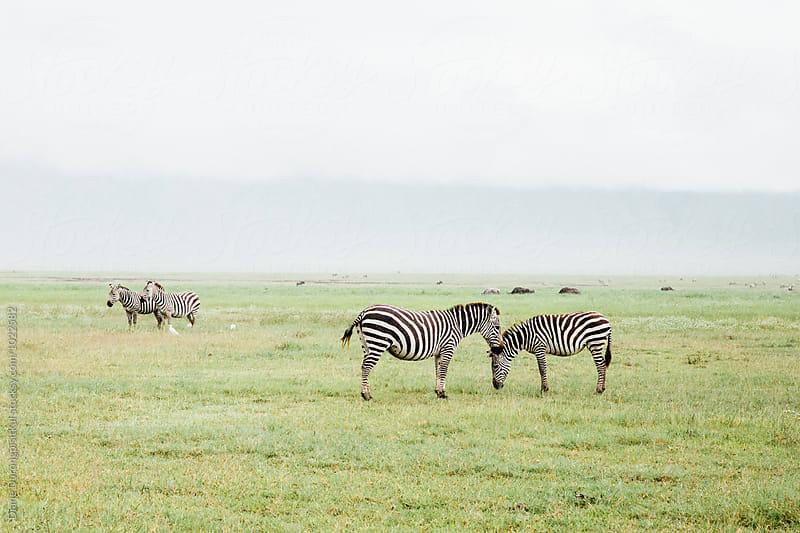 Zebra gather on Savannah by Diane Durongpisitkul for Stocksy United
