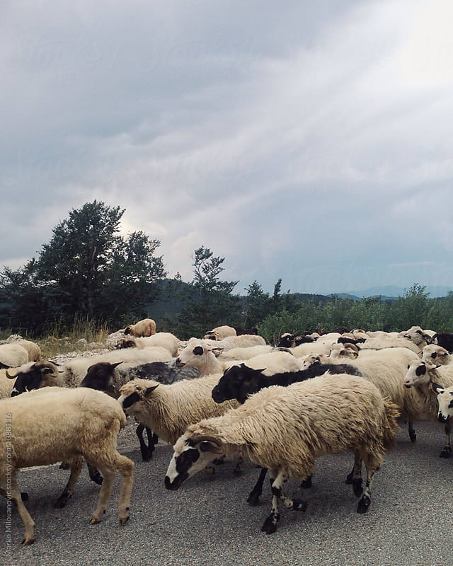 Sheeps passing on the road near car by Marko Milovanović for Stocksy United