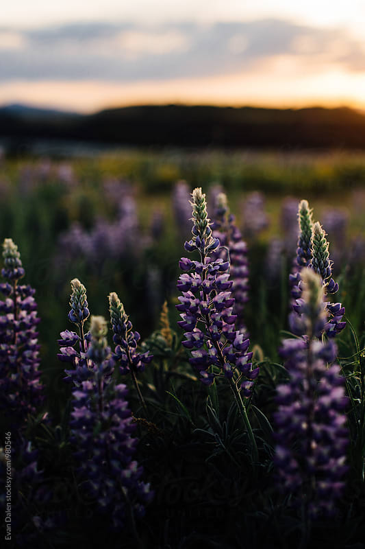 Purple Wild Flowers in Field at Sunset by Evan Dalen for Stocksy United