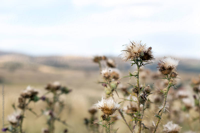 Closeup of a dried thistle in a meadow by Jovana Milanko for Stocksy United