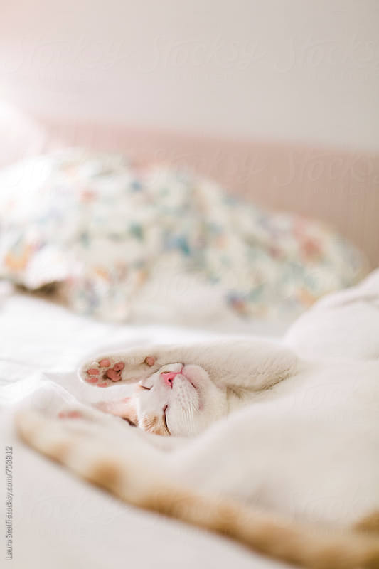 Cat sleeping happily on unmade bed in feminine bedroom by Laura Stolfi for Stocksy United