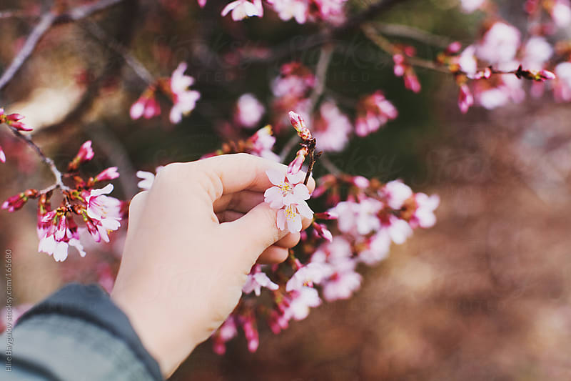 Hand holding flowers in bloom  by Ellie Baygulov for Stocksy United