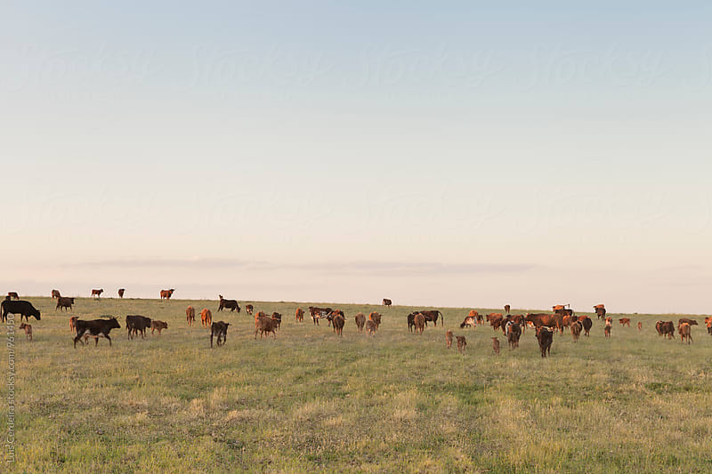 Cows on a field by Luis Cerdeira for Stocksy United