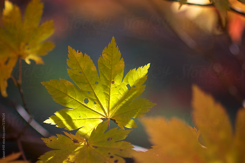A Yellow Leaf with sunlight on it by Jason Hill for Stocksy United