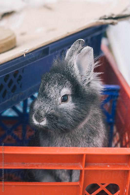 A pet rabbit  by Aleksandra Jankovic for Stocksy United