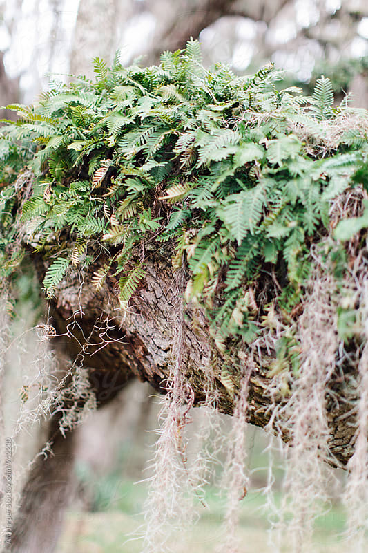 Fern growing on oak tree by Ali Harper for Stocksy United